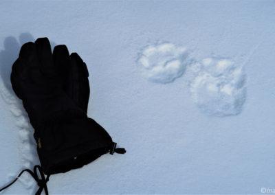 Vercors en raquette pulka loup