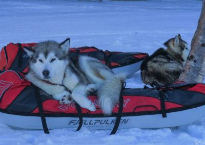 Repos bien mérité pour ces huskies à Abisko