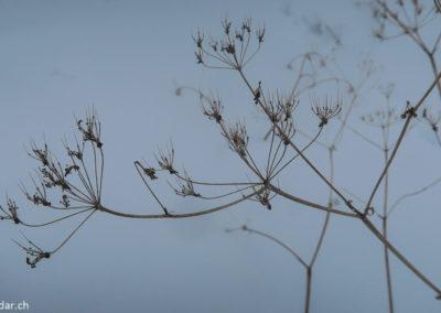 L'angélique fait parti des plantes utilisées par les Sami