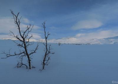 Bouleaux entourés de neige immaculée